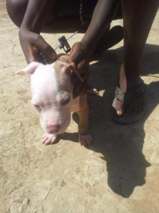 Beautiful American pitbull pups in Durban, KwaZulu-Natal