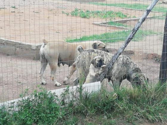 Beautiful boerboel puppies available in Durban, KwaZulu-Natal