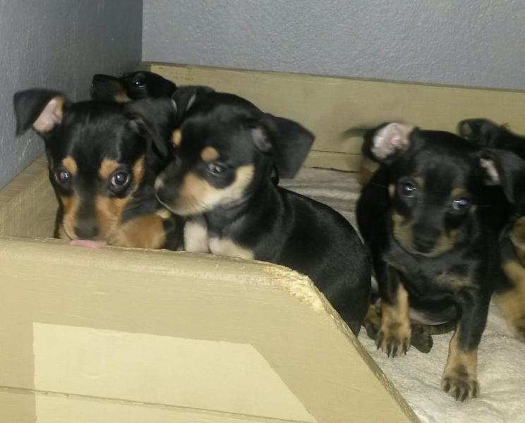 Miniature Doberman Pinscher Cape Town Dogs Puppies Public Ads