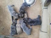 Boerboel puppy available