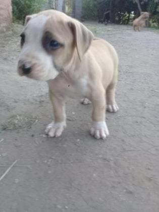 Beautiful Male American pitbull available in Durban, KwaZulu-Natal