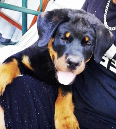 Beautiful male Rottweiler pup