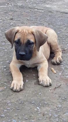 Boerboel male puppy in Durban, KwaZulu-Natal