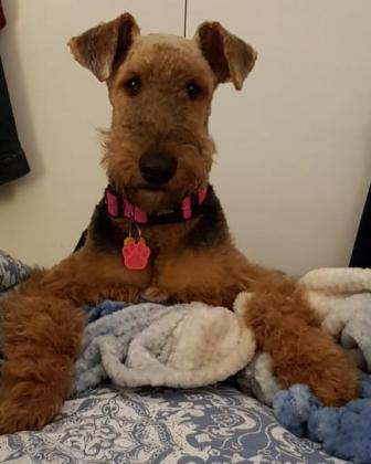 Airedale Terriers KUSA Registered for sale