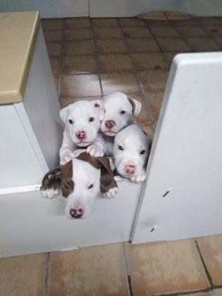 American Pitbull Terrier puppies in Cape Town, Western Cape