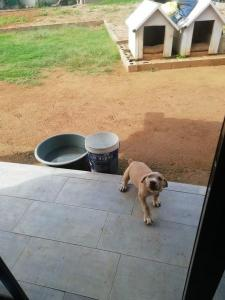 Beautiful boerboel puppy available