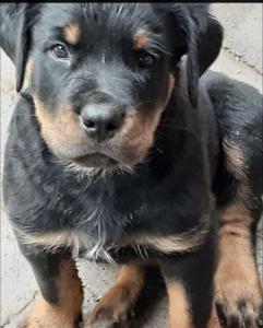 rottweiler puppy R4000