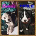 Registered Bloodsport Bloodline pitbull puppies