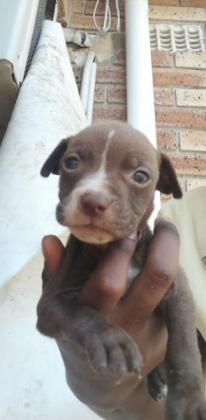 Bullyson red nose American pitbull terriers