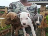 Grey American pitbull pups for sale