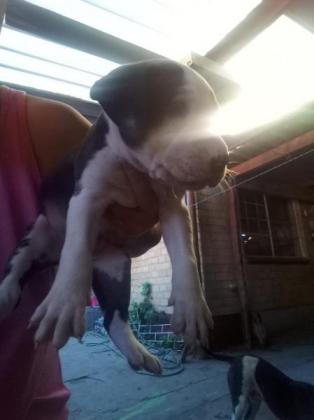 2 Pitbull Pups For Sale in Cape Town, Western Cape