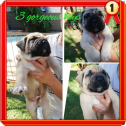3 gorgeous males left boerboel