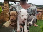 Grey pitbulls