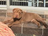 Shar Pei puppies from registered Kennel House of Shar Pei