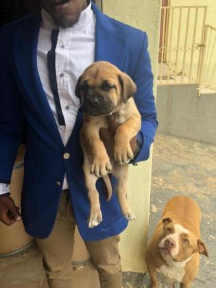 Boerboel pups for sale