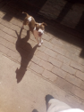missing pitbull