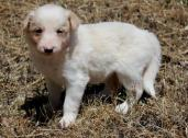 vaccinated border collie puppies for sale