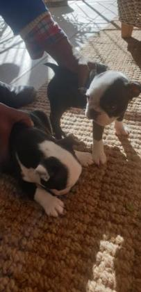 Boston Terrier Puppies for sale 6 weeks old