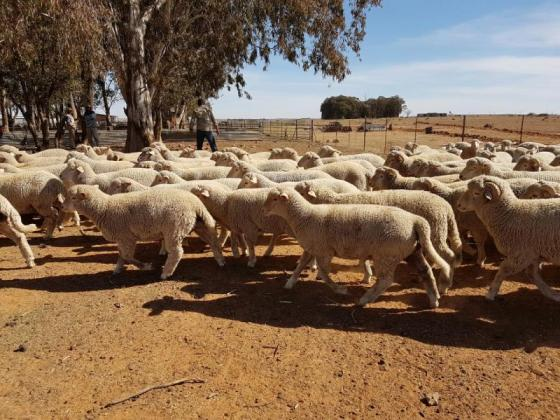 Dorper and Merino lambs for sale