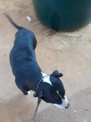 Pit bull terrier 11 months in Cosmo City, Gauteng