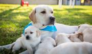 exquisite Pedigree Labrador Retriever Puppies For Sale j