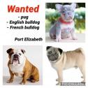 WANTED - Pug, English bulldog, French bulldog in Port Elizabeth