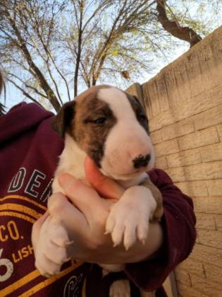 2x male bull terrier pups for sale in Roodepoort, Gauteng