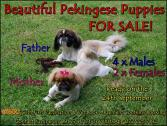 Beautiful Phekingese puppies