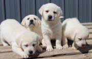 Chunky Labrador Retriever Puppies for sale