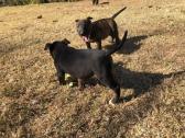 K Bull Terriers