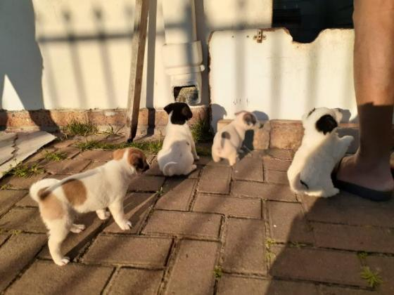 Jack Russells for sale in Goodwood, Western Cape