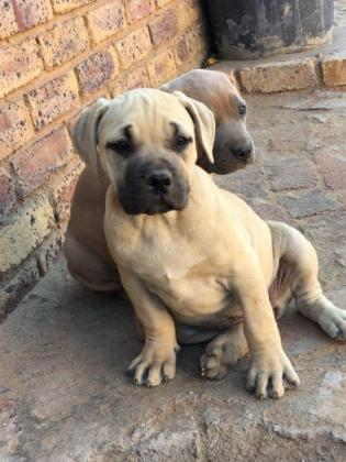 Pitbull mix Boerboel breed in Daveyton, Gauteng