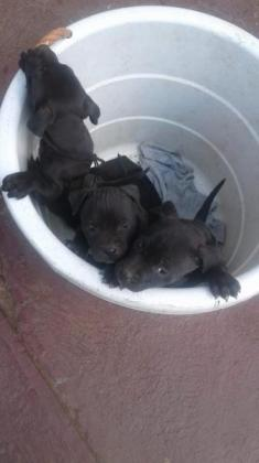 Two pitbull puppies for sale