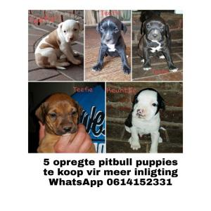 Pitt bull puppies for sale