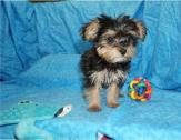 Free 2 go home Yorkie's  puppies