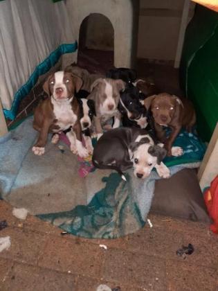 Pitbull puppies for sale in Kempton Park, Gauteng