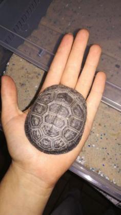 Helmet turtle in Alberton, Gauteng