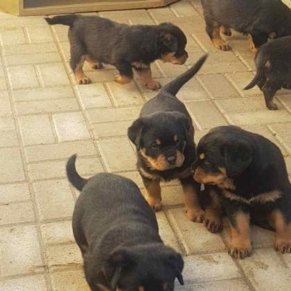 Puppies Rottweilers in Vredendal, Western Cape