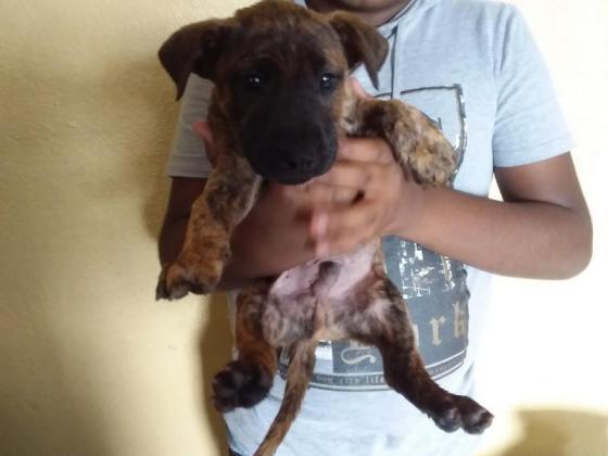 staffy crossed bull terrier male puppies in Durban, KwaZulu-Natal