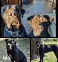 boerboel hondjies/pups