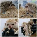 Hedgehogs breeding pair