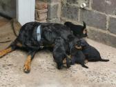 Thoroughbred Rottweiler Puppies  - Lion head