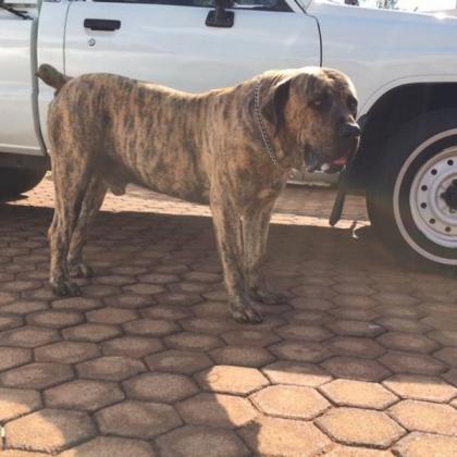 Boerboel Puppies for Sale in Krugersdorp, Gauteng
