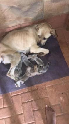 Boerboel puppies for sale in Klerksdorp, North West