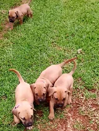 Boerbull puppies in Centurion, Gauteng