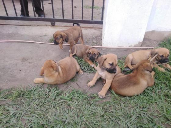 Boerboel pups available in Durban, KwaZulu-Natal