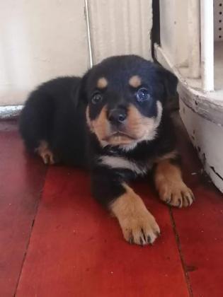 Rottwieler Puppies