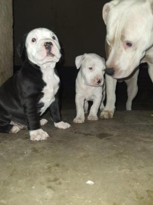 Purebred pitbull puppies for sale