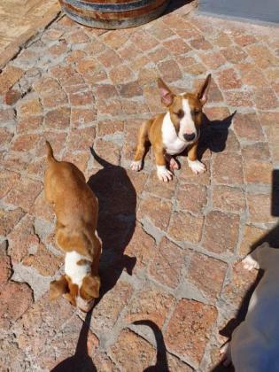 BULL TERRIER in Muizenberg, Western Cape