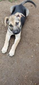 German shepherd X boerboel puppies